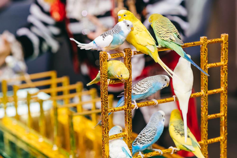 попугая видео дрессировка волнистого